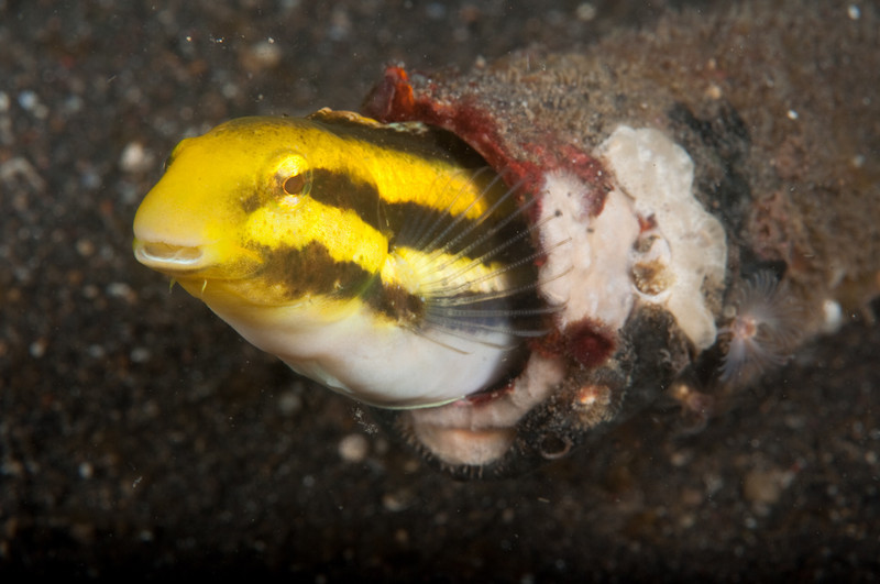 Goby living in a pipe