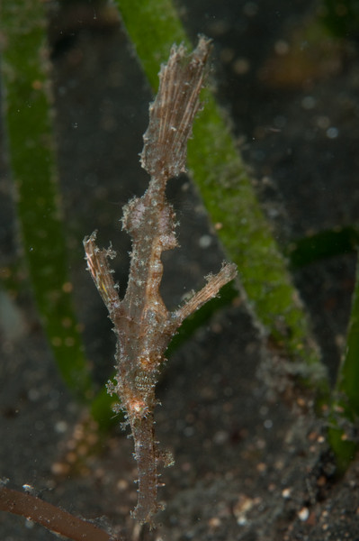 Amazing camouflage from the very reedy-looking robust ghost pipefish
