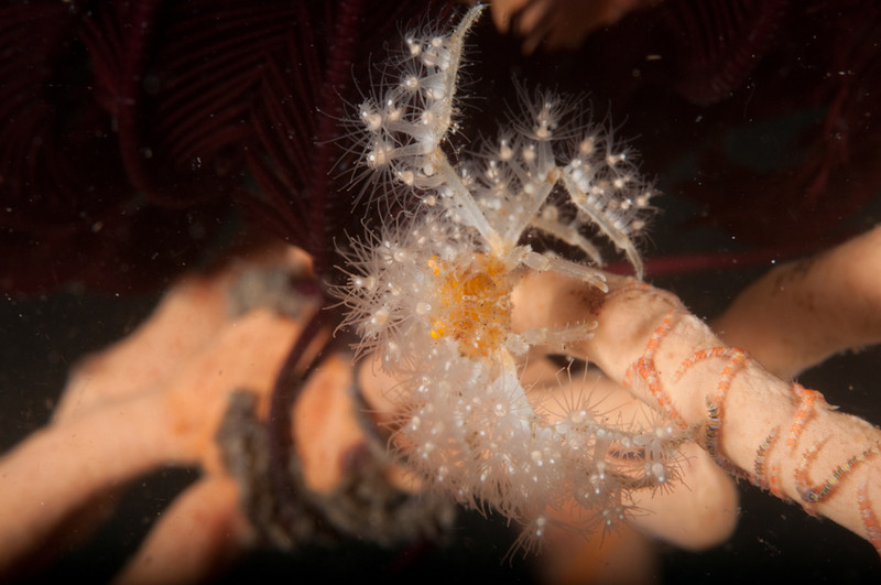 Coral Crab GIving A Warning To Back Off
