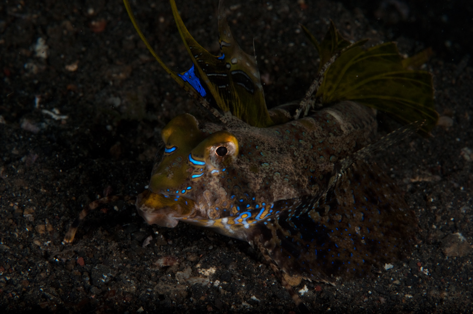Dragonet with amazing vivid colouring