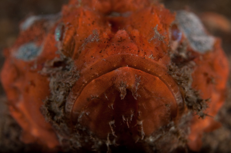 Up close with a devil scorpionfish