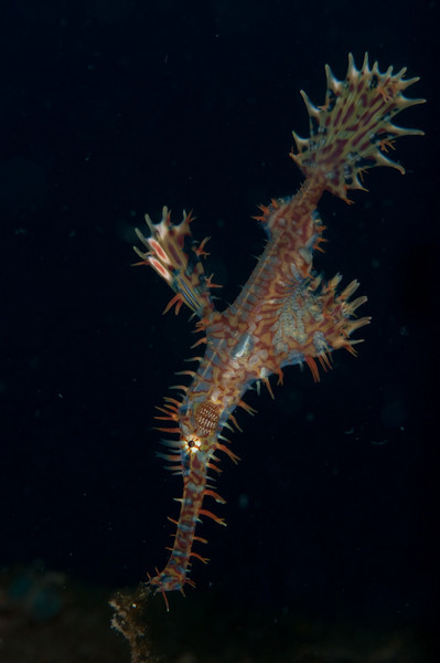 Ornate Ghost Pipefish hovering just above a frond of seaweed