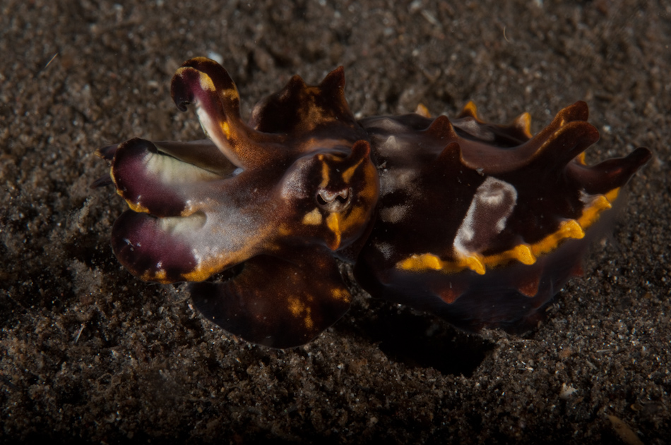 Flamboyant Cuttlefish - only about 6 centimetres long