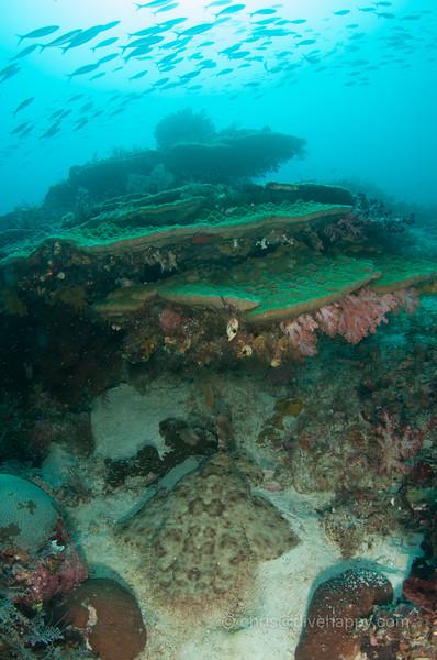 Wobbegong shark under a coral bommie, Raja Ampat