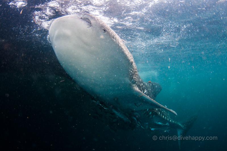 Whale Shark, Triton Bay, Indonesia