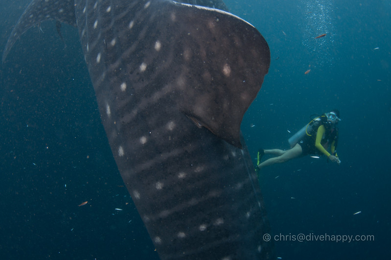 Hidy with Whale Shark, Triton Bay, Indonesia