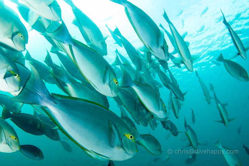 Fish fish fish fish, Dramai, Triton Bay, Indonesia