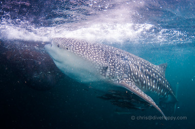 Triton Bay Whale Sharks