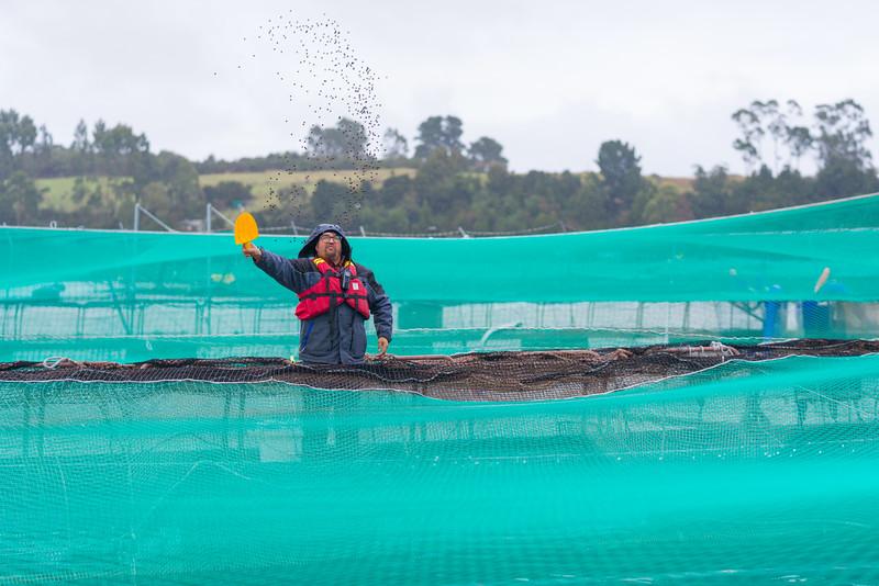 Alimentacion de salmones en balsa Jaula