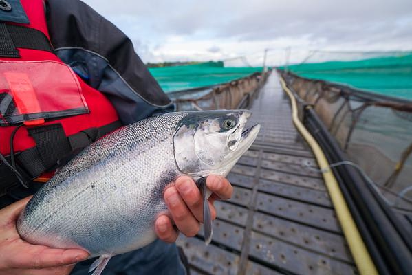 Salmon en manos de operario