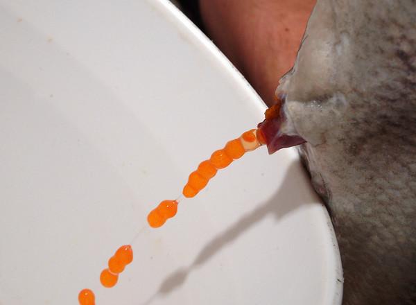Desove de salmones