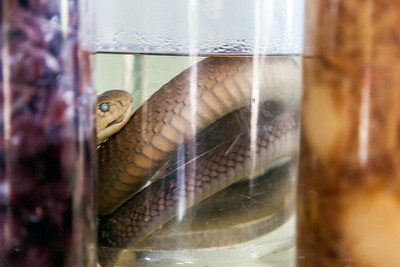 Snake Liquor