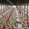 A broiler chicken facility near New Delhi.
