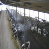 Cows Line Up To Eat