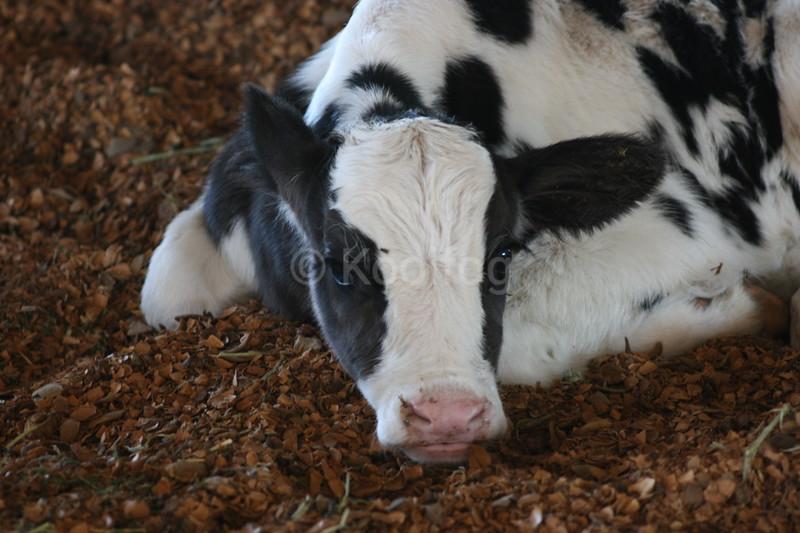 Calf Lounging