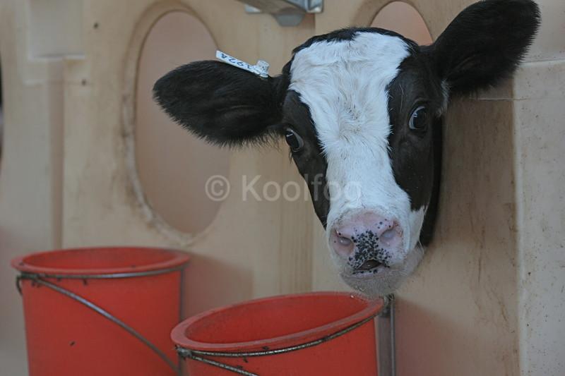 New Calf