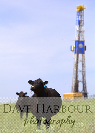 North Dakota Oilfield Angus cow coexisting with drilling rig as she checks out the stranger.