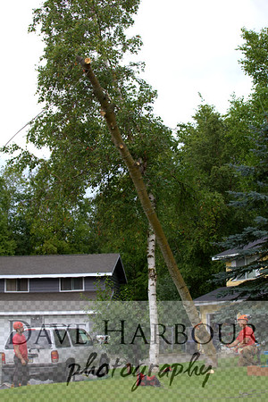 Tall Tree FALLING by Dave Harbour