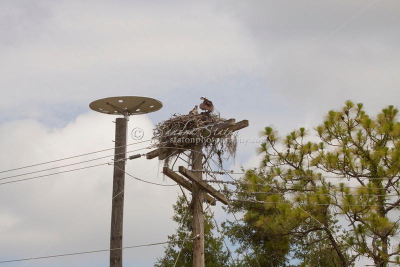 Osprey, fish eagle on nest next to a nesting platform