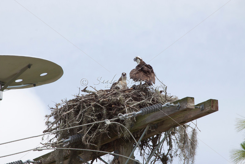 Osprey, fish eagle builds a nest on the crossarms of a utility pole