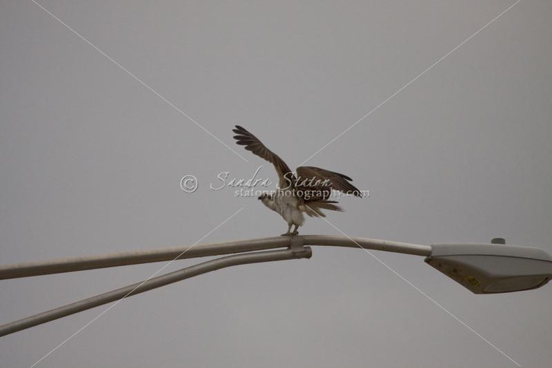 Osprey, fish eagle