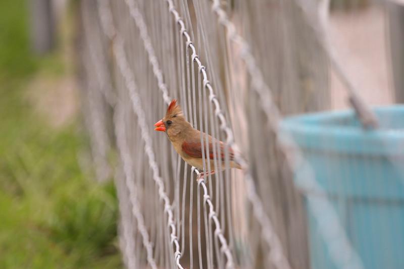 Cardinal_SS0062