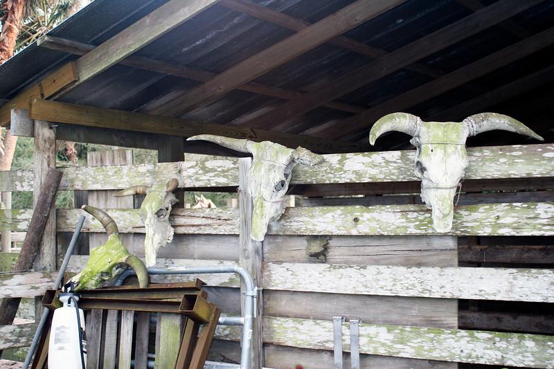 Cowhead at the barn_SS9899