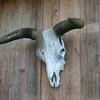 Cowhead hangs on barn_SS5645