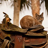 Cat in Saddle_SS9626