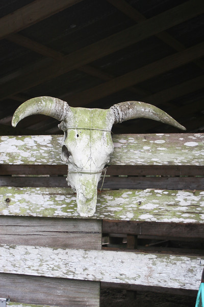 Cowhead on fence_SS9897