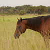 Chestnut in tall grass_SS7303