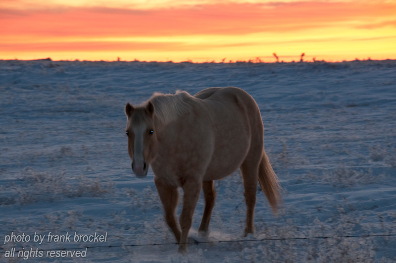 A horse coming to beg some food in a meadow outlined by a beautiful mid-winter prairie sunset