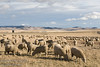 Sheep on a Ranch in the Foothills of Southern Alberta, Canada