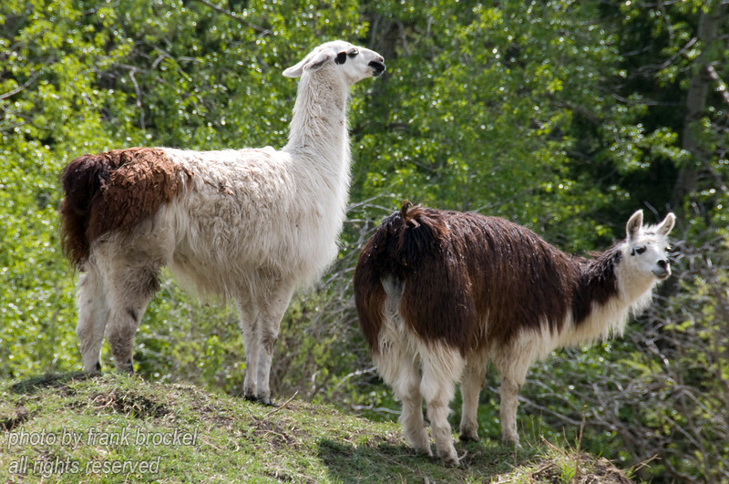 Llamas at a ranch south of Rocky Mountain House, Alberta