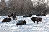 Buffalo (Bison) in a paddock west of Hanna, Alberta