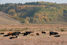 A herd of cattle at Big Hill Springs provincial park
