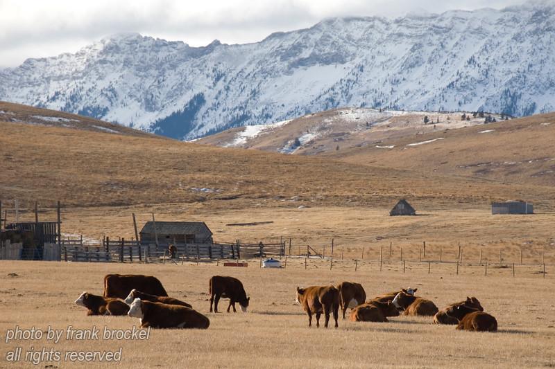 Cattle enjoying a warm winter day below the Livingston Range in Southern Alberta