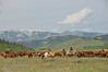 A cattle roundup in the foothills south of Longview, Alberta