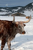 A long horned bull on a ranch in the Foothills of Alberta near Benchlands