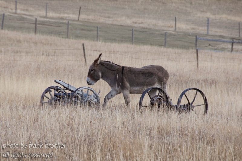 A donkey at a ranch in southern Alberta