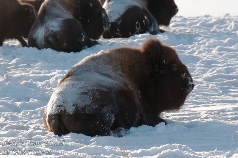 Buffalo (Bison) in a paddock west of Hanna, Alberta