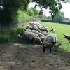 Converging Sheep