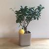 Wanna Be A Lemon Tree