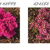 Azalea Happy Azalea Sad