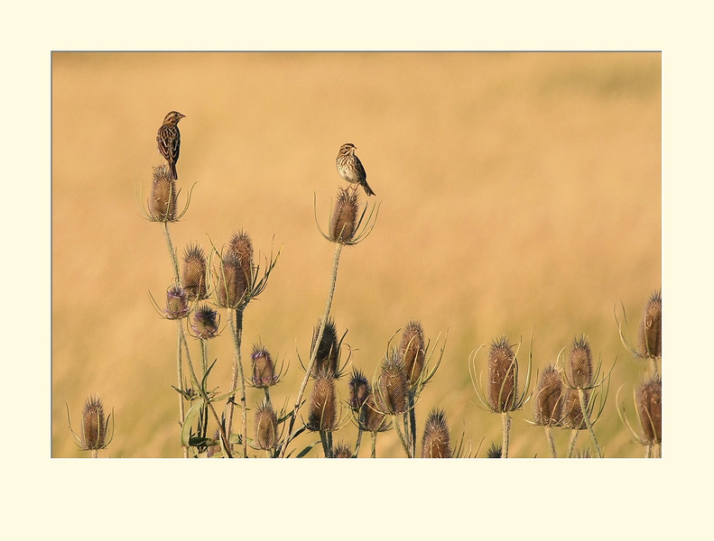 Savannah Sparrows on Teazle (matting sample)