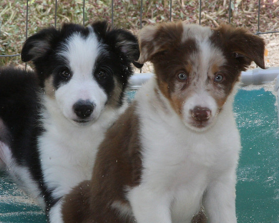 "<b><font size=""4"">Contact Point Border Collies</font></b> <br><br> Karen Moureaux has been involved with Border Collies and various dog sports since 1989.  The first litter of Contact Point Border Collies was born in 1999 and those pups have gone on to be National Champions, USDAA Top Ten rankings, International Agility Team members, Agility, Flyball and Herding Champions.   <br><br> Since the first Contact Point litter there have been many wonderful Contact Point Border Collie puppies born.  Those pups are excelling in a variety of dog sports ranging from Agility, Flyball, Herding, Frisbee, Obedience to therapy dogs and well loved companions. For more information please visit www.bordercollie.tv"