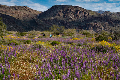 Desert Super Bloom