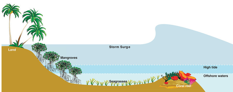 Storm surge effect on mangroves