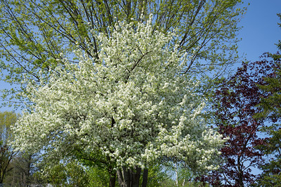 White Blossoming Apple Tree