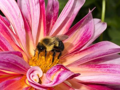 Bumblebee on Dahlia